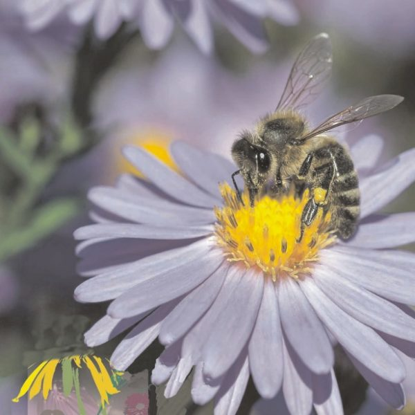 20170914_Herbst-Biene